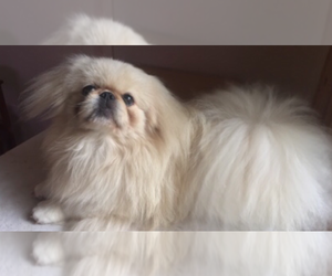 Father of the Pekingese puppies born on 10/14/2019