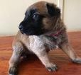 Belgian Malinois Puppy For Sale in BURTON, TX,