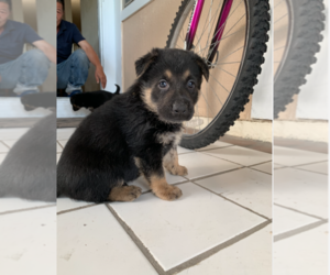 German Shepherd Dog Puppy for sale in LAS VEGAS, NV, USA