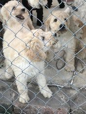 Goldendoodle Puppy for sale in JANESVILLE, WI, USA