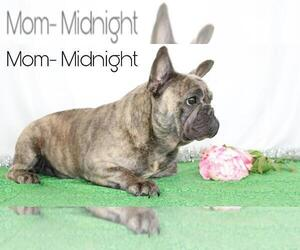 Mother of the French Bulldog puppies born on 04/15/2020