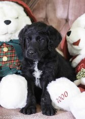 Labradoodle Puppy For Sale in MERIDIAN, TX, USA