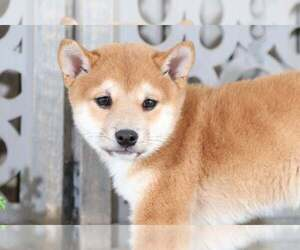 Shiba Inu Dog for Adoption in MOUNT VERNON, Ohio USA