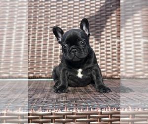 French Bulldog Puppy for Sale in MENTONE, California USA