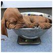 Vizsla Puppy For Sale in OMAHA, NE,
