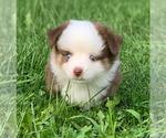Small #4 Miniature Australian Shepherd