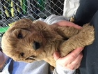 Labradoodle Puppy For Sale in AUDUBON, IA,