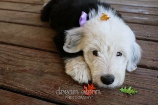 Sheepadoodle Puppy For Sale in SPRINGFIELD, OR