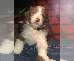 Aussiedoodle Puppy for Sale in BEDFORD, Virginia USA