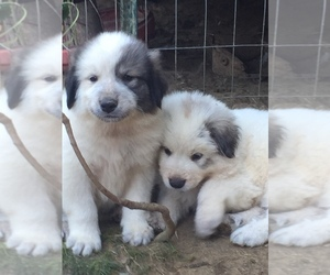 Great Pyrenees Puppy for sale in BRANDON, MS, USA