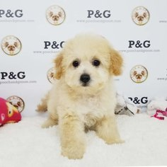 Maltese-Poodle (Toy) Mix Dog for Adoption in TEMPLE CITY, California USA