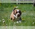 Puppy 7 Australian Cattle Dog-Treeing Walker Coonhound Mix