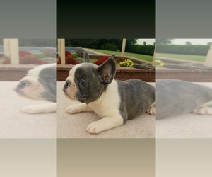 French Bulldog Puppy for Sale in FORREST CITY, Arkansas USA