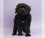Puppy 2 Shih Tzu-Yorkie-Poo Mix