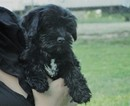 Maltipoo Puppy For Sale in AZLE, TX