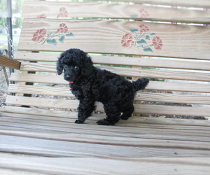Poodle (Miniature) Puppy for sale in OLATHE, KS, USA