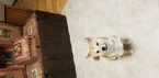 Shiba Inu Puppy For Sale in MORGANTOWN, WV, USA