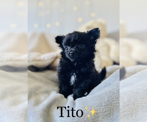 Chihuahua Puppy for sale in COOKEVILLE, TN, USA