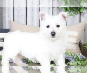 West Highland White Terrier Puppy for sale in MOUNT VERNON, OH, USA