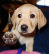 Labrador Retriever Puppy For Sale in PARKER, CO