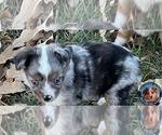 Small #3 Miniature Australian Shepherd