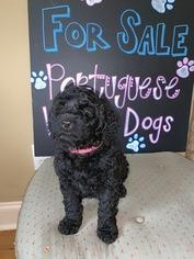 Portuguese Water Dog Puppy For Sale in CALHOUN, GA, USA
