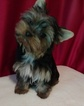 Yorkshire Terrier Puppy For Sale in ELLIJAY, GA