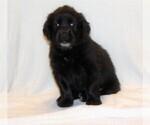 Puppy 4 Golden Newfie