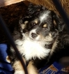 Miniature Australian Shepherd Puppy For Sale in MC LEAN, IL