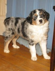 Australian Shepherd Dog for Adoption in CAMPBELL, Minnesota USA