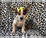 Small #13 Australian Cattle Dog-Jack Russell Terrier Mix