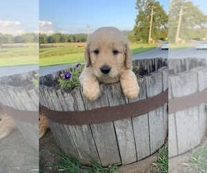 Goldendoodle Puppy for Sale in ELIZABETHTON, Tennessee USA