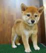Pembroke Welsh Corgi Puppy For Sale in SAN FRANCISCO, CA, USA