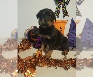 Rottweiler Puppy for Sale in VANCOUVER, Washington USA
