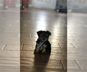 Yorkshire Terrier Puppy for Sale in HESPERIA, California USA