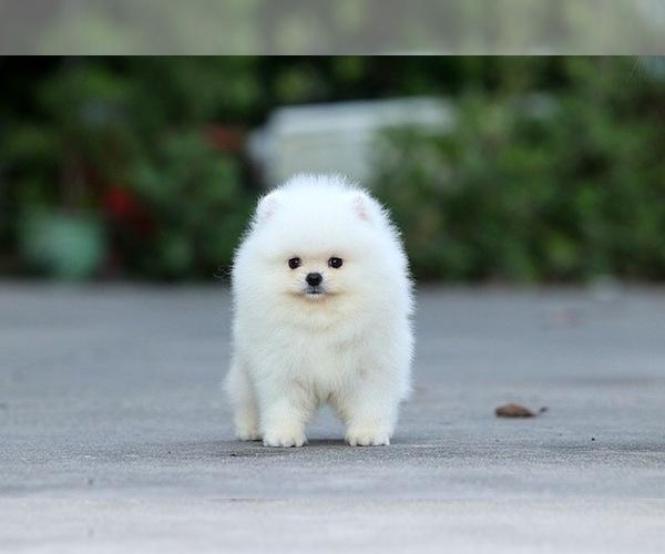 Medium Photo #2 Pomeranian Puppy For Sale in CINCINNATI, OH, USA