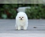 Small Photo #2 Pomeranian Puppy For Sale in CINCINNATI, OH, USA