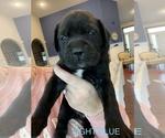 Puppy 9 Mastador