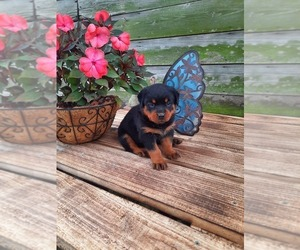 Rottweiler Puppy for Sale in SHIPSHEWANA, Indiana USA