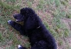 Poodle (Standard) Puppy For Sale in TULSA, Oklahoma,