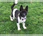 Akita Puppy For Sale in NARVON, PA, USA