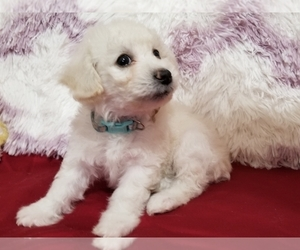 Poochon Puppy for sale in PANAMA CITY, FL, USA