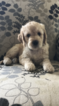 Goldendoodle Puppy For Sale in NEWARK, OH