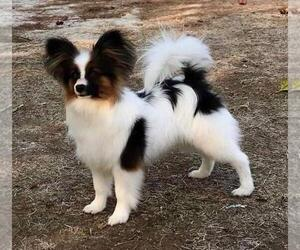 Father of the Papillon puppies born on 08/02/2019