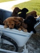 Labrador Retriever-Unknown Mix Puppy For Sale in ARTHUR, IL, USA