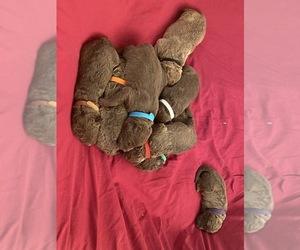Chesapeake Bay Retriever Puppy for sale in BUHL, ID, USA