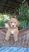 Labradoodle Puppy For Sale in FRESNO, CA,