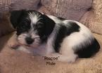 Schnauzer (Miniature) Puppy For Sale in BRYAN, TX