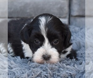 ShihPoo Puppy for sale in SUNBURY, PA, USA