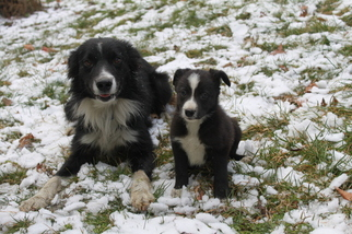 Border Collie Puppy For Sale in LENHARTSVILLE, PA